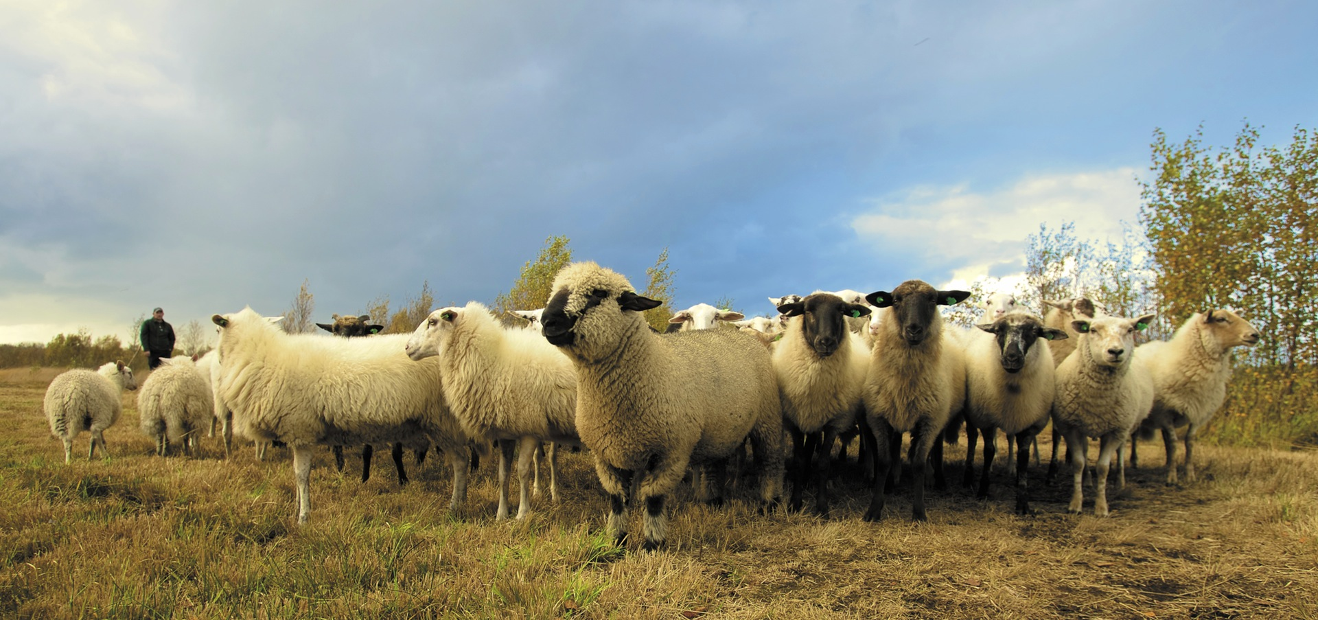 This Flock Of Sheep Is Very Real, Even Though It Looks Like A Hallucination.